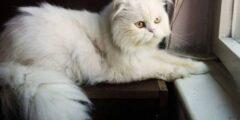 أنواع القطط أشهر سلالات وما هي مميزاتها بالصور