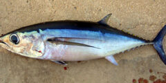 افضل انواع السمك بدون شوك