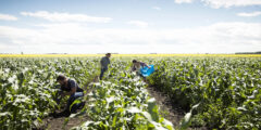 ما هي عوائق الزراعة في السودان ومقترحات للتغلب عليها