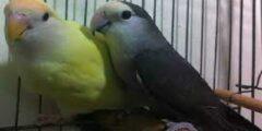 تربية العصافير الأسترالي في المنزل من الألف للياء